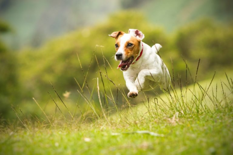 Dog running in the field