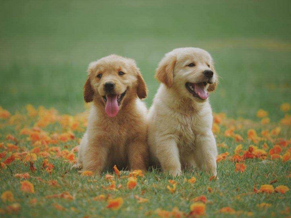 2 labrador puppies