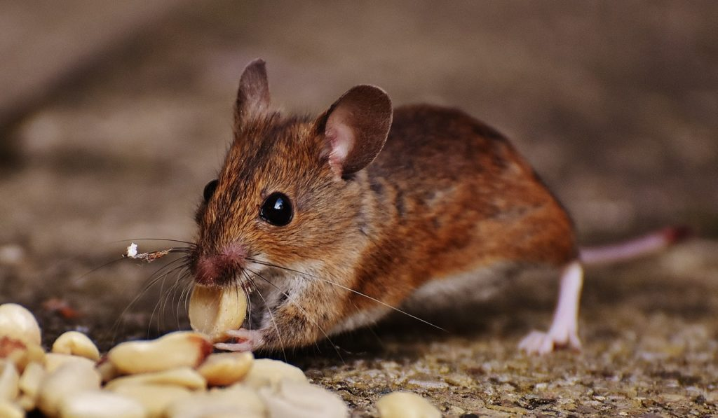 rodent eating